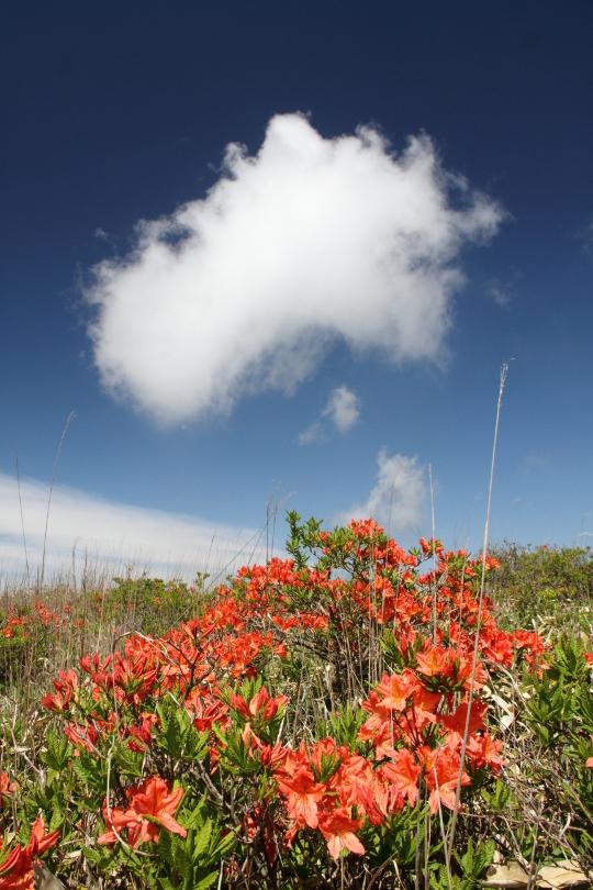 レンゲツツジと雲