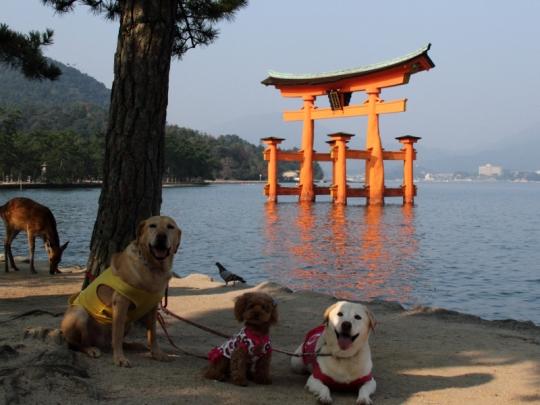 宮島に犬たち