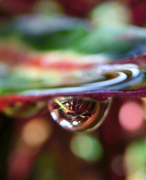 クロトンの葉に雨のしずく