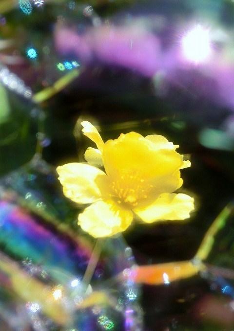 シャボン玉と黄色いポーチュラカ