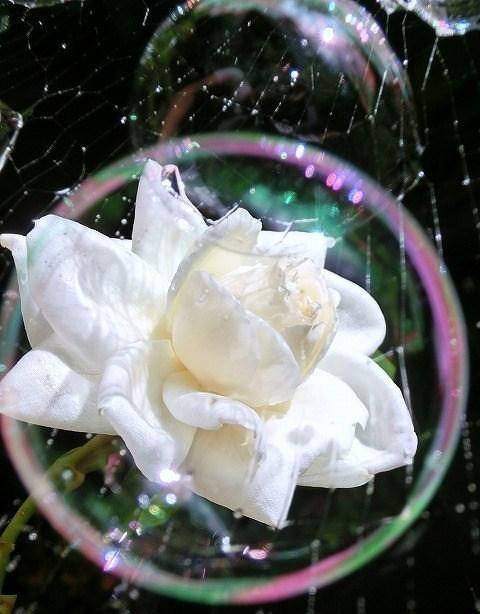 白いバラとシャボン玉