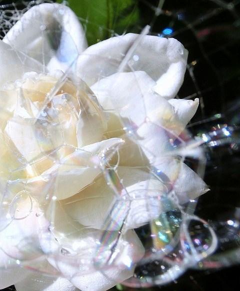 蜘蛛の巣にシャボン玉と薔薇