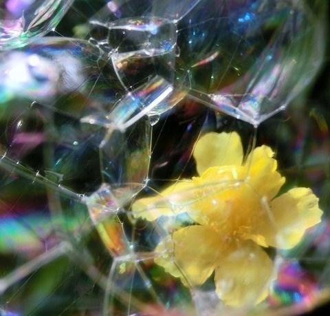 くっついたシャボン玉と黄色いポーチュラカ