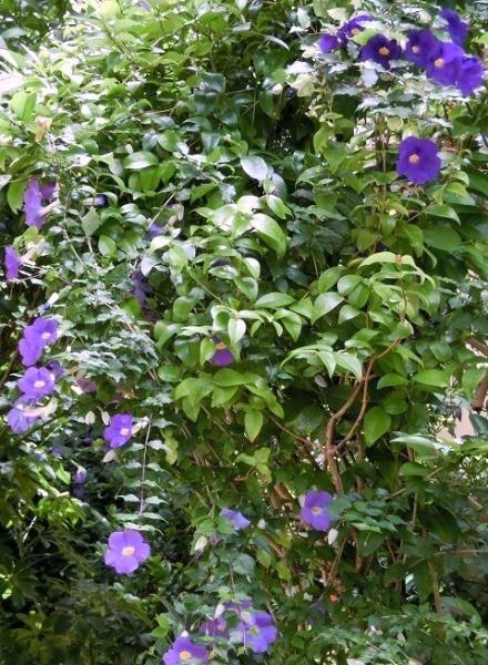 青紫の花(ツンベルギアのエレクタとフォーゲリアナ)