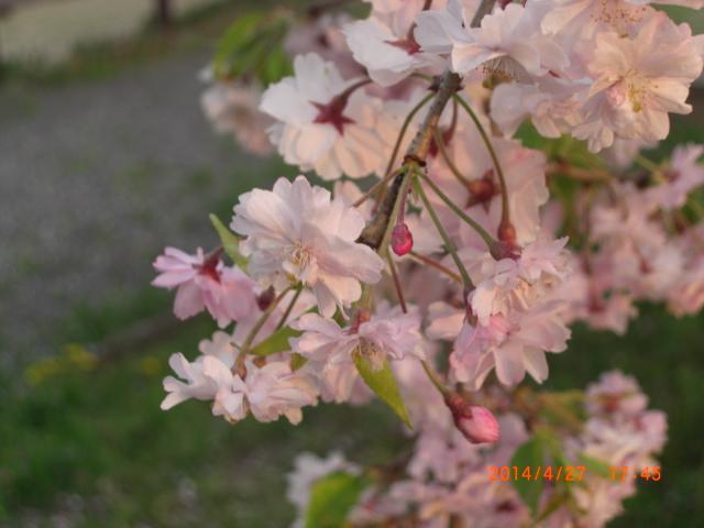 花梨26年春~ 135