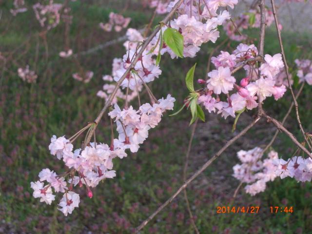 花梨26年春~ 133