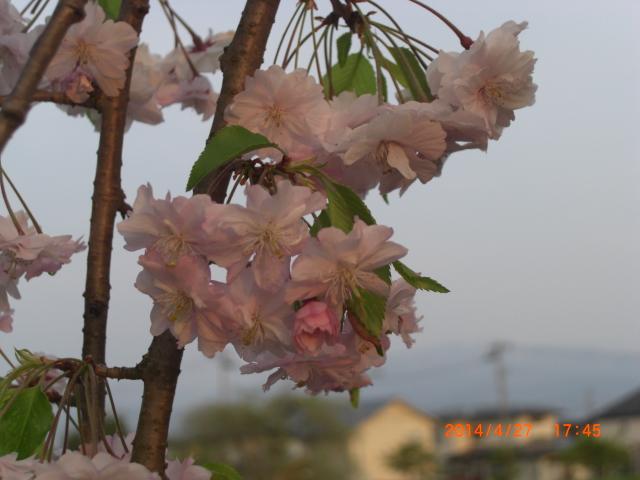 花梨26年春~ 134