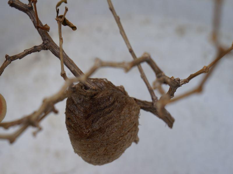 カマキリの巣?