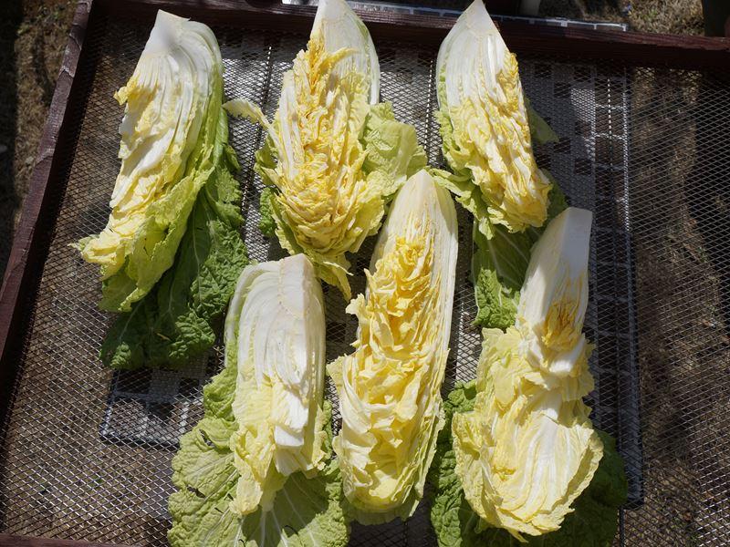白菜を干す
