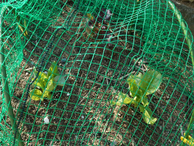 サラダ菜 3種