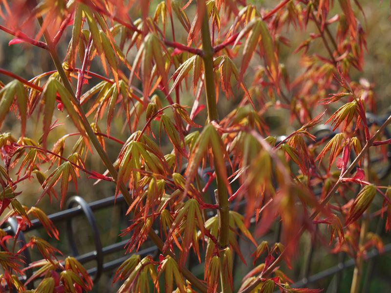 紅葉の新芽