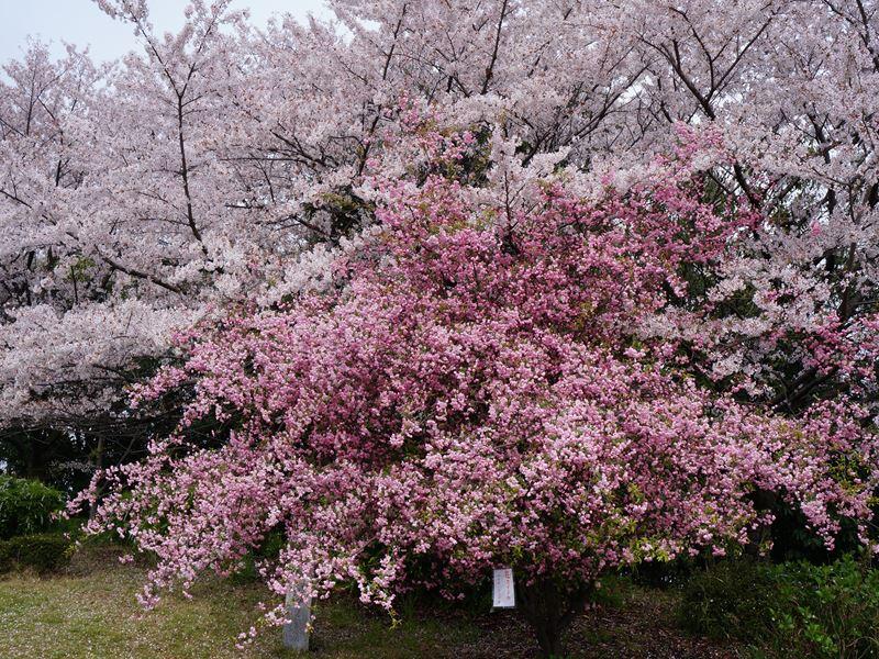 桜とハナカイドウ