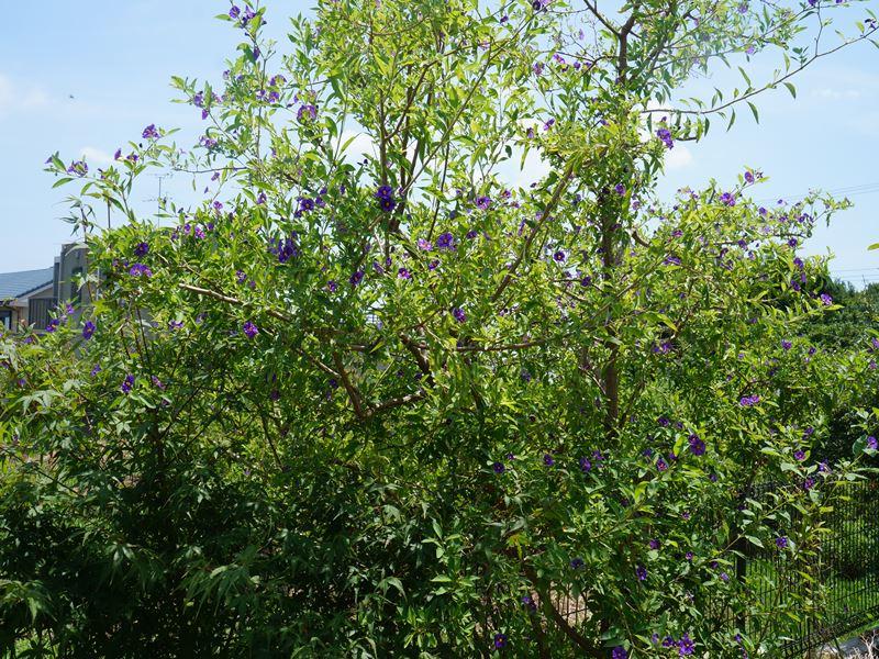 ソラナムの木