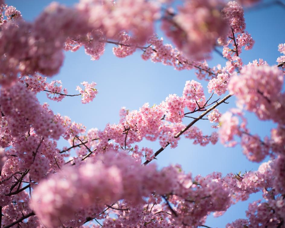 桜2014_03
