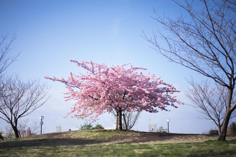 桜2014_02