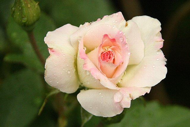 薔薇 マルチダ 2
