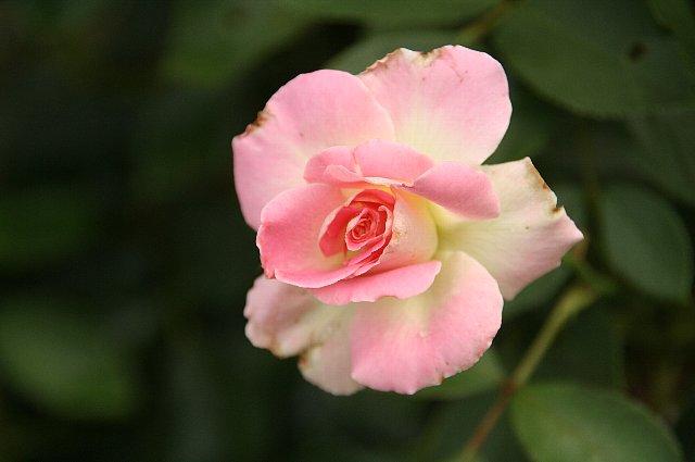 薔薇 マルチダ 1