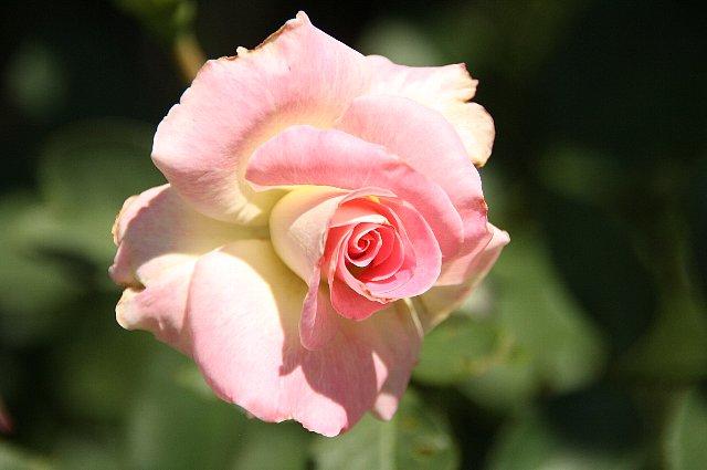 薔薇 マルチダ