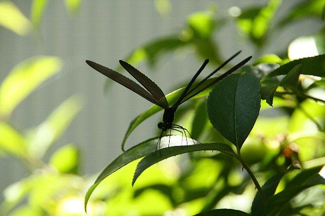 羽黒トンボ1