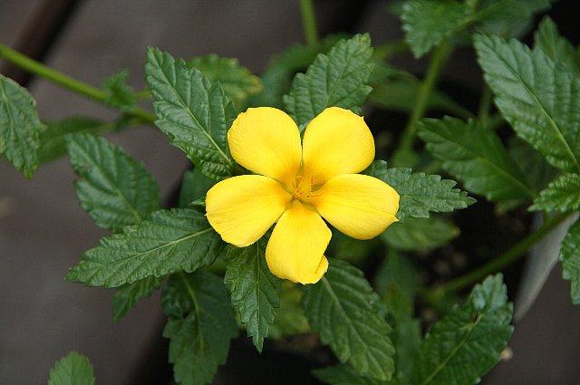 ターネラ 黄