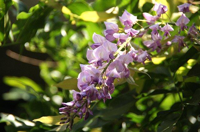 藤の花 狂い咲き