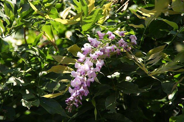 藤の花 狂い咲き1