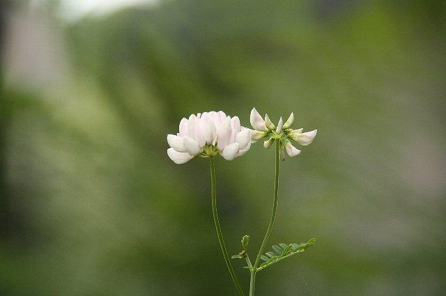 玉咲き草藤1