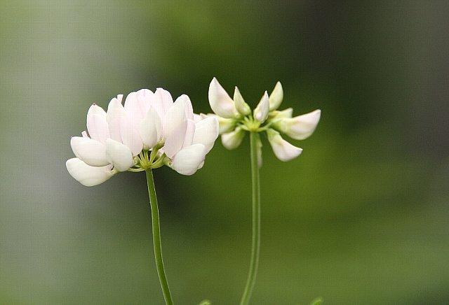 玉咲き草藤