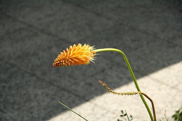 トリトマ・キトリナ1