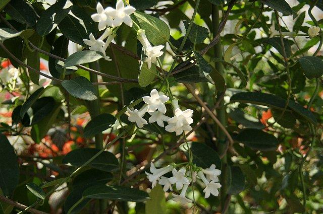 マダカスカルジャスミン2