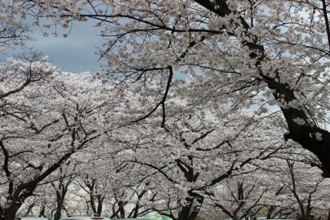 岩槻城址公園(20140402)