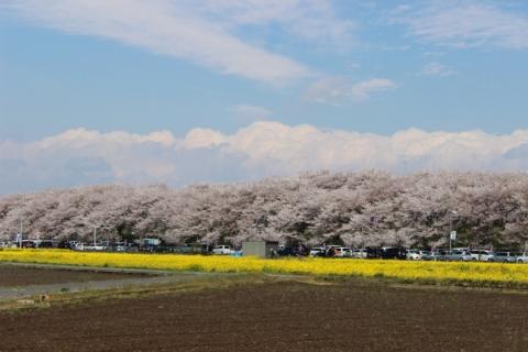 権現堂桜堤01(20140407)