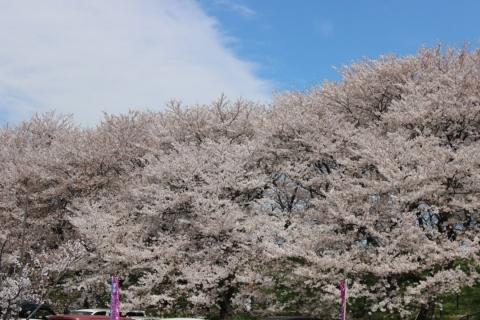 権現堂桜堤02(20140407)