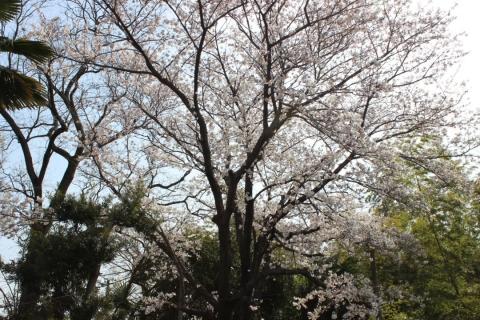 我が家の桜(20140402)