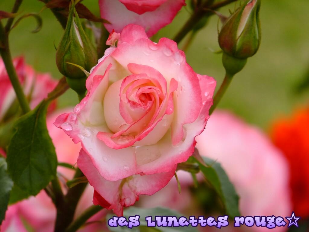 rose:山下公園