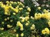 ちゃあ 黄色いバラ