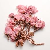 桜花の塩漬け 写真