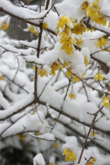 2014大雪 ロウバイ