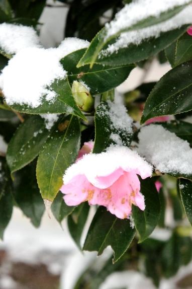 2014大雪 椿