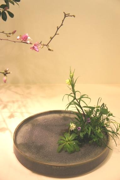 2014春花展 ショウジョウバカマ