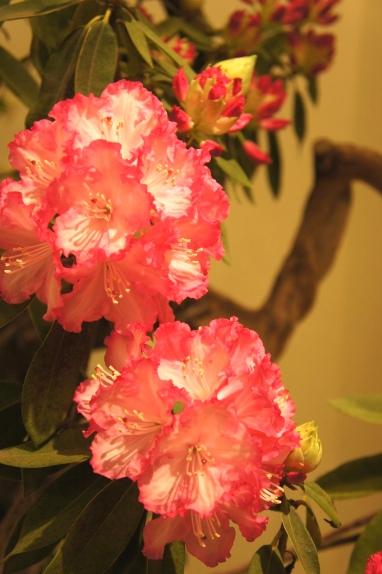 2014春花展 シャクナゲ