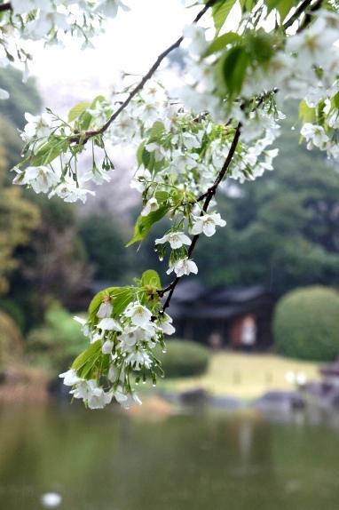 2014上野博物館 白い桜2