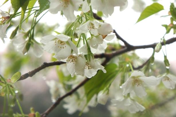 2014上野博物館 白い桜3