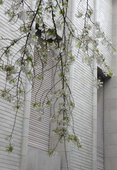 2014上野博物館 入口の桜2