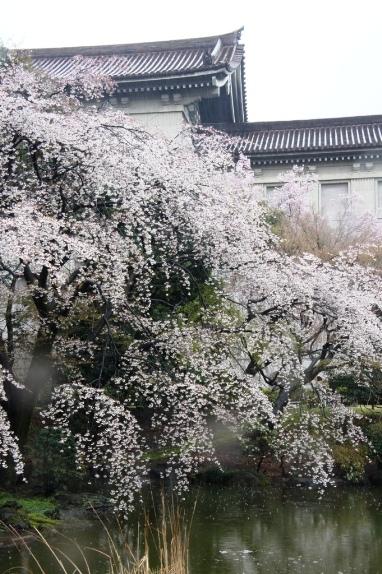 2014上野博物館 裏の桜2