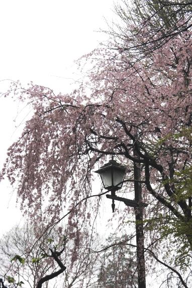 2014上野花見 伊豆栄前の枝垂桜