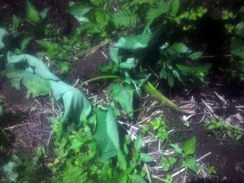 イノシシ被害の里芋