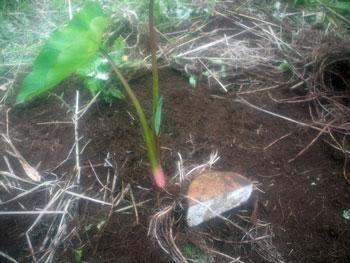 里芋苗の分割