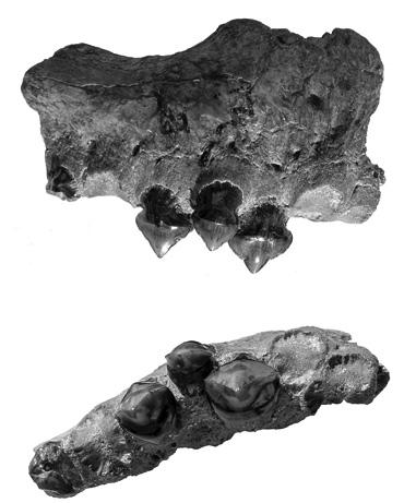 090626-02-mega-piranha-teeth-fossils_big[1]