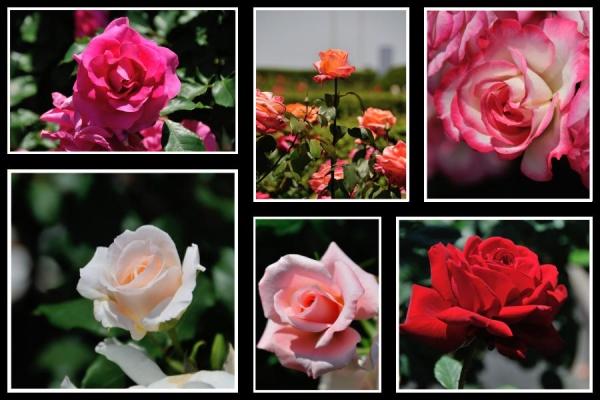rose01.jpeg